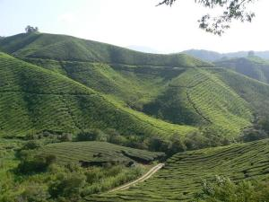 green green tea farm...